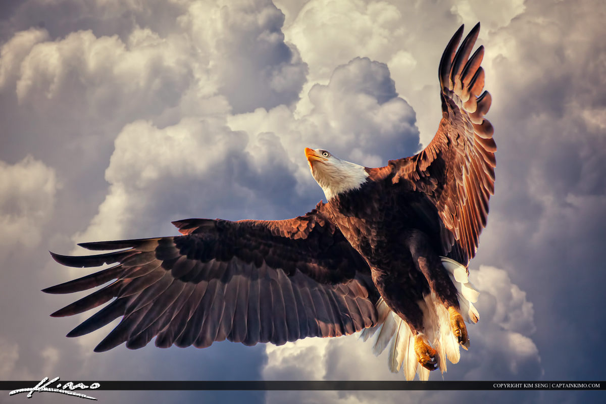 American Bald Eagle Flying in Cloudy Sky.
