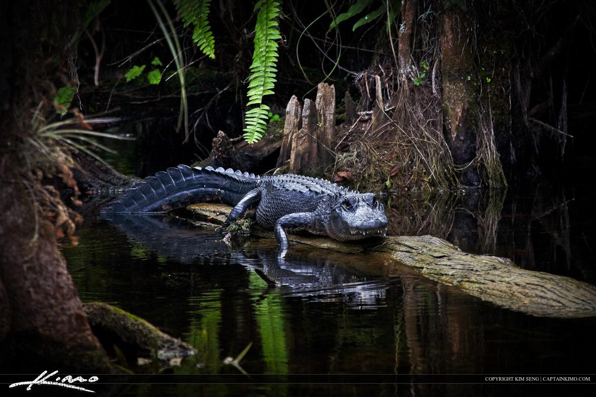 Grumpy Alligator On Log in River at Loop Road Everglades.