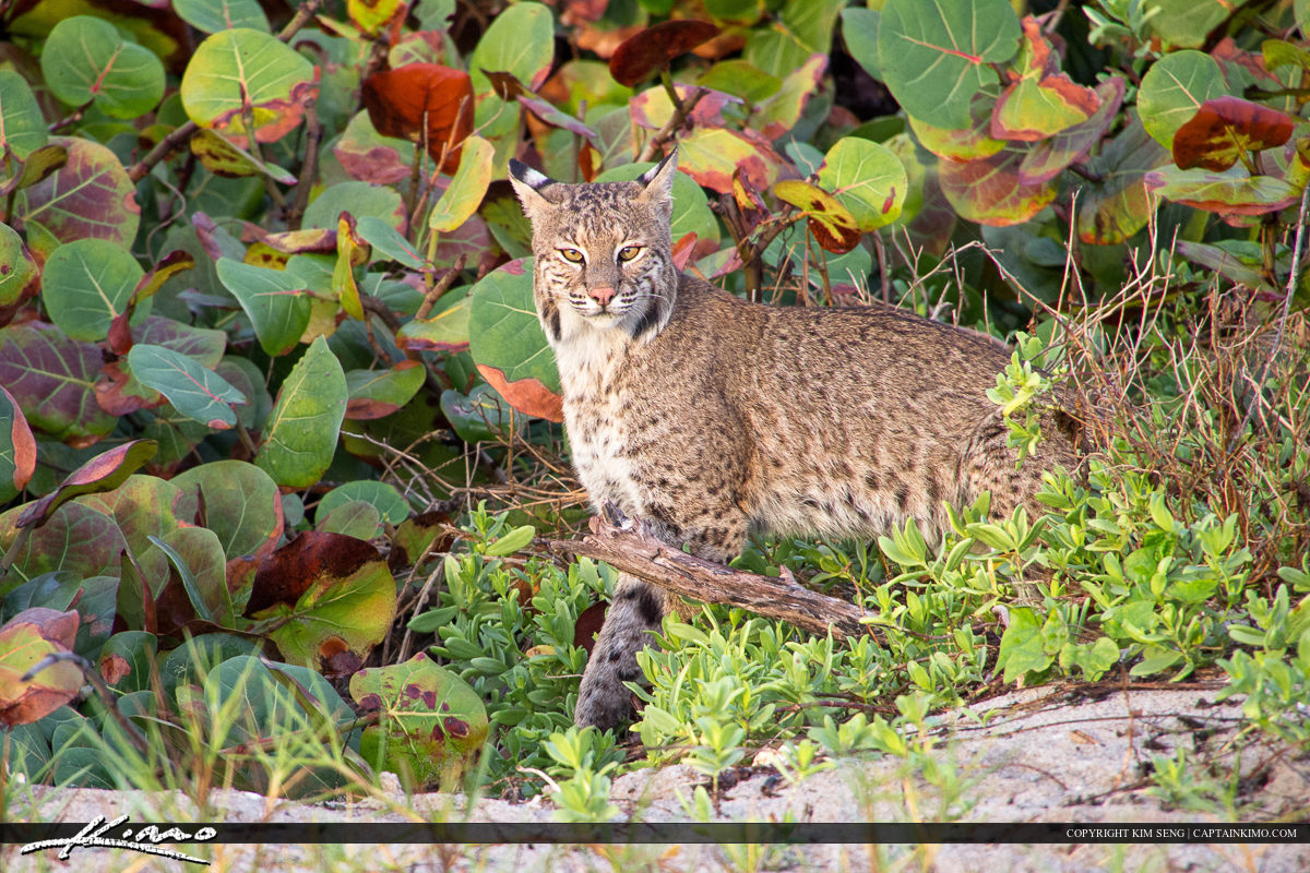 Bobcat peaking his head out of the bushes along the beach.