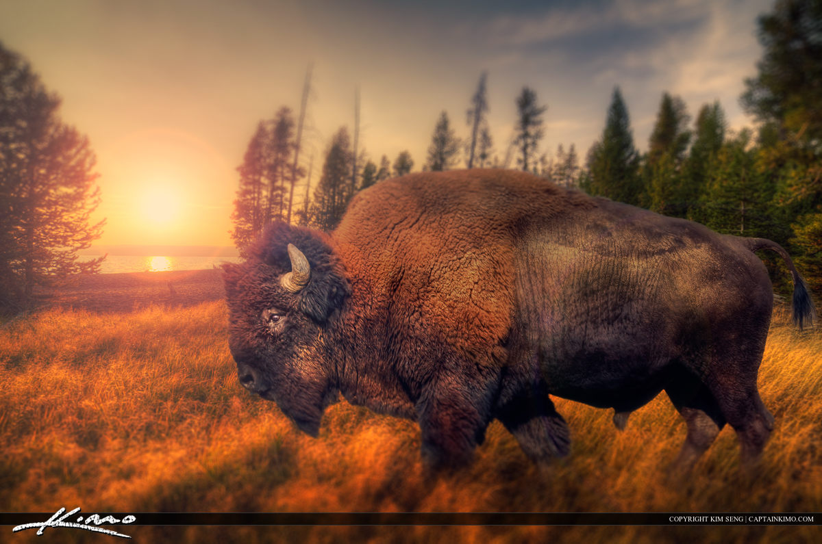 Bison from Yellowstone National Park Roaming the Wilderness.