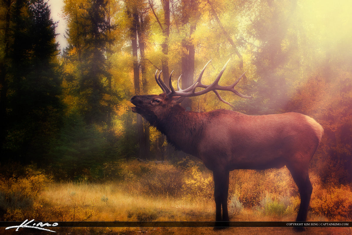 Six-point Bull Elk from Yellowstone National Park.