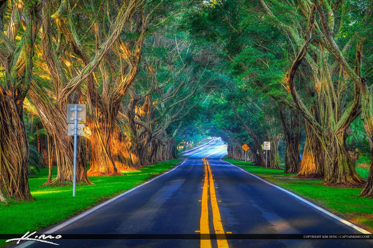 Banyan Trees Along Bridge Road at Hobe Sound Florida