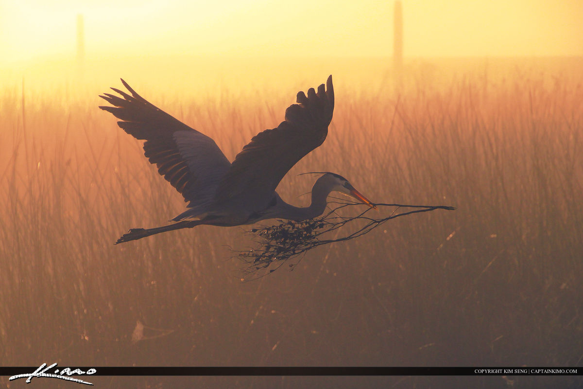 Foggy morning at Viera Wetlands with a Big Blue Heron flying.