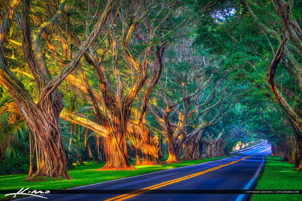Bridge Road Banyan Tree Jupiter Island Hobe Sound Florida