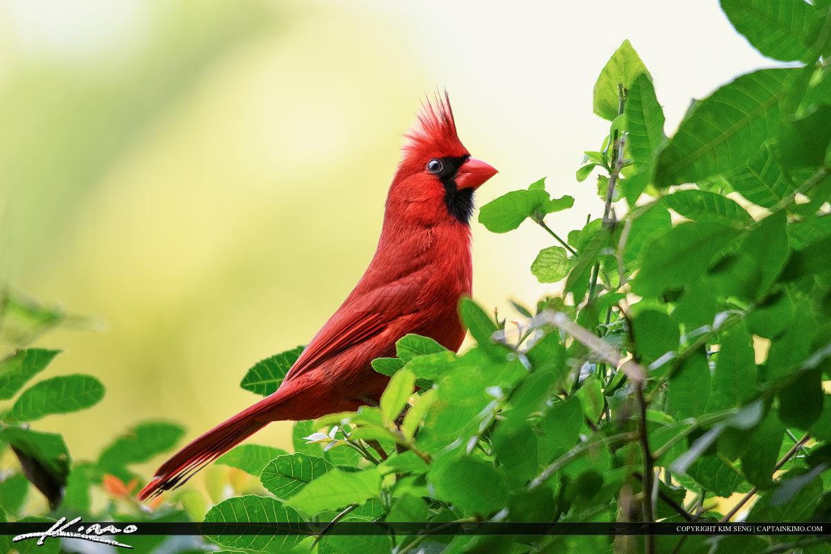 Red Cardinal Bird male perched on bush in Palm Beach Gardens backyard.