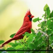 Cardinal Red Bird Perched on Bush