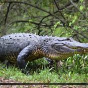 Florida Alligators January 2015 Large Grumpy Gator with Teeth
