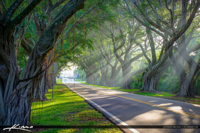 Hobe Sound Florida Ficus Tree at Bridge Road with Sun Rays