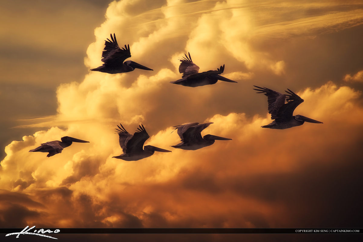 Flock of Pelicans Flying Through Florida Sky.