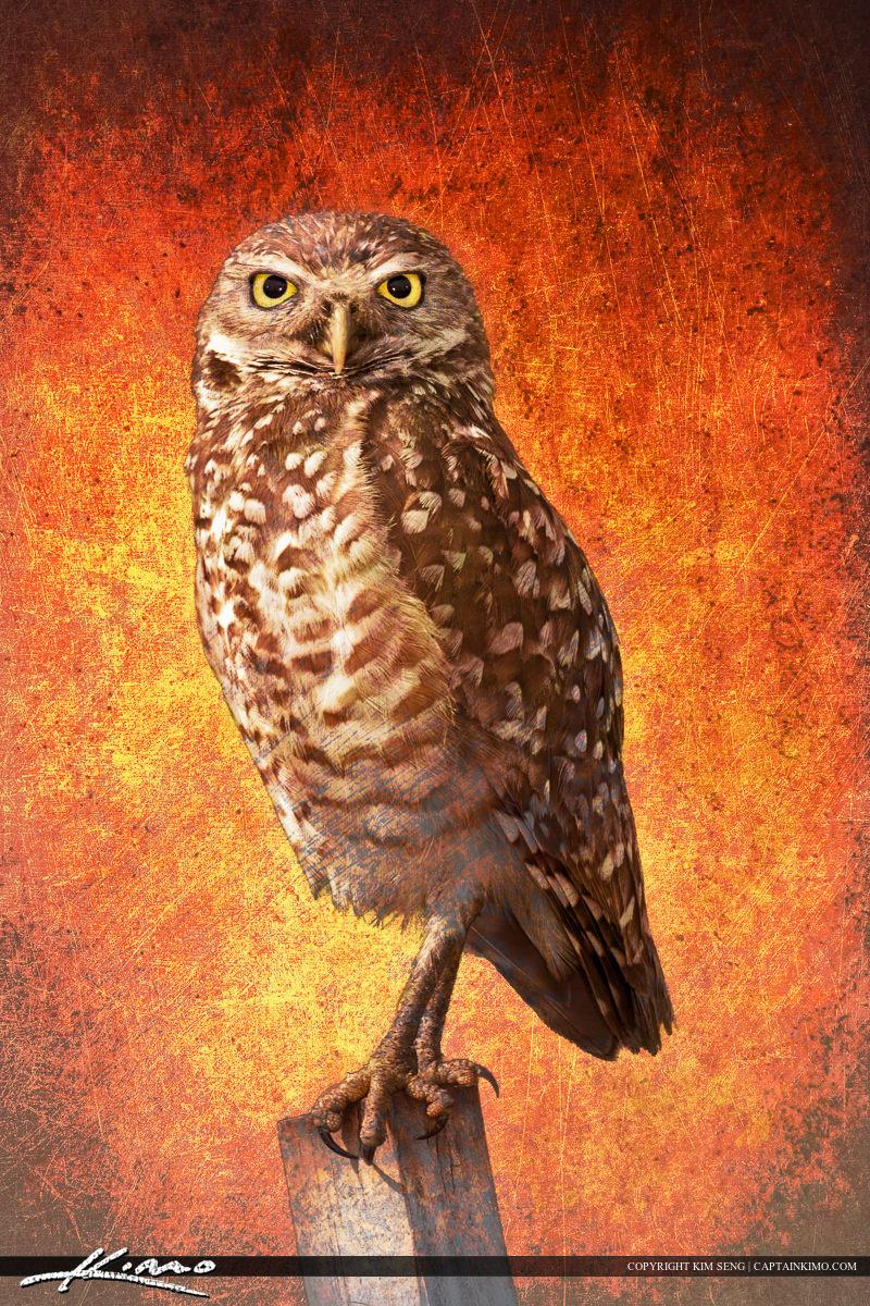 Burrowing Owl on Post Textured Photo Art.
