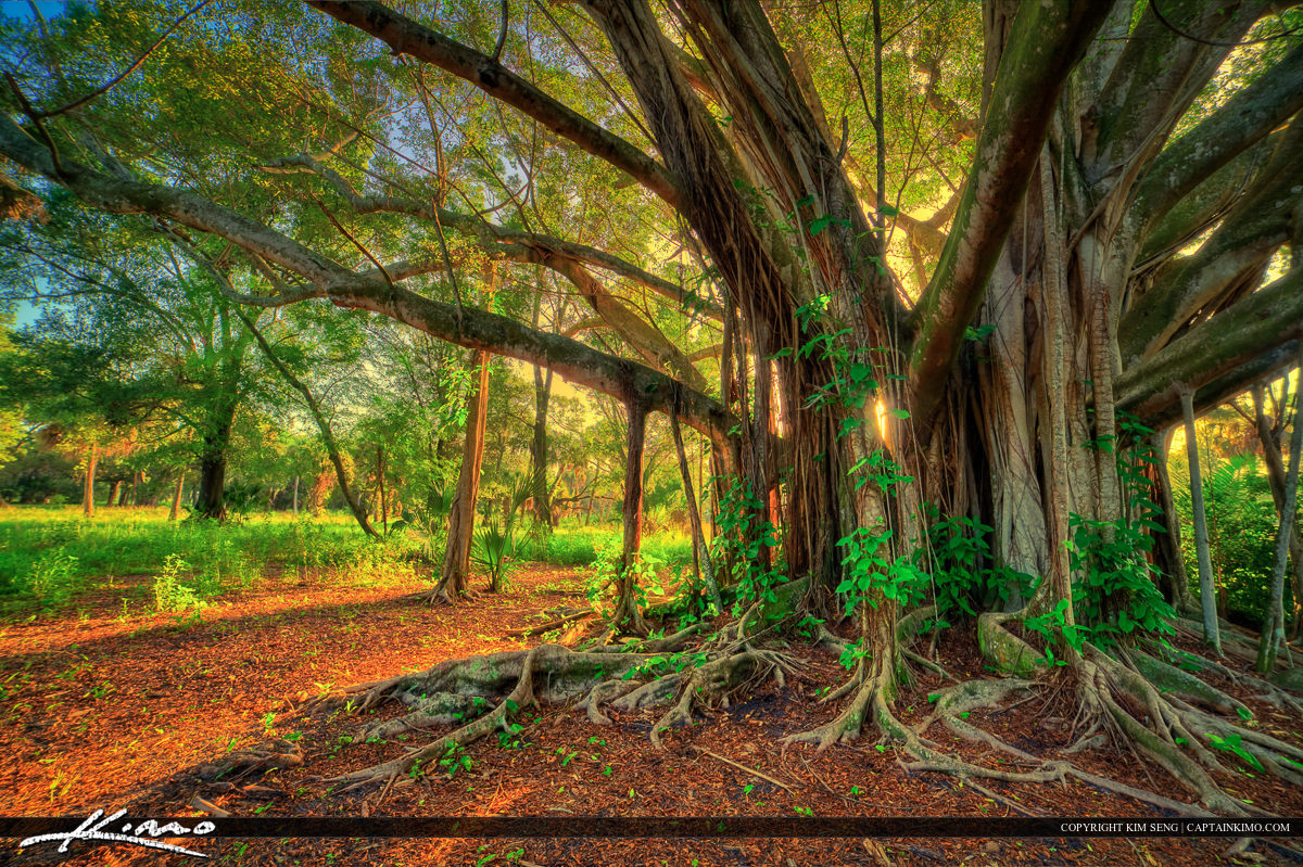 Large Banyan Tree at Riverbend Park Jupiter Florida