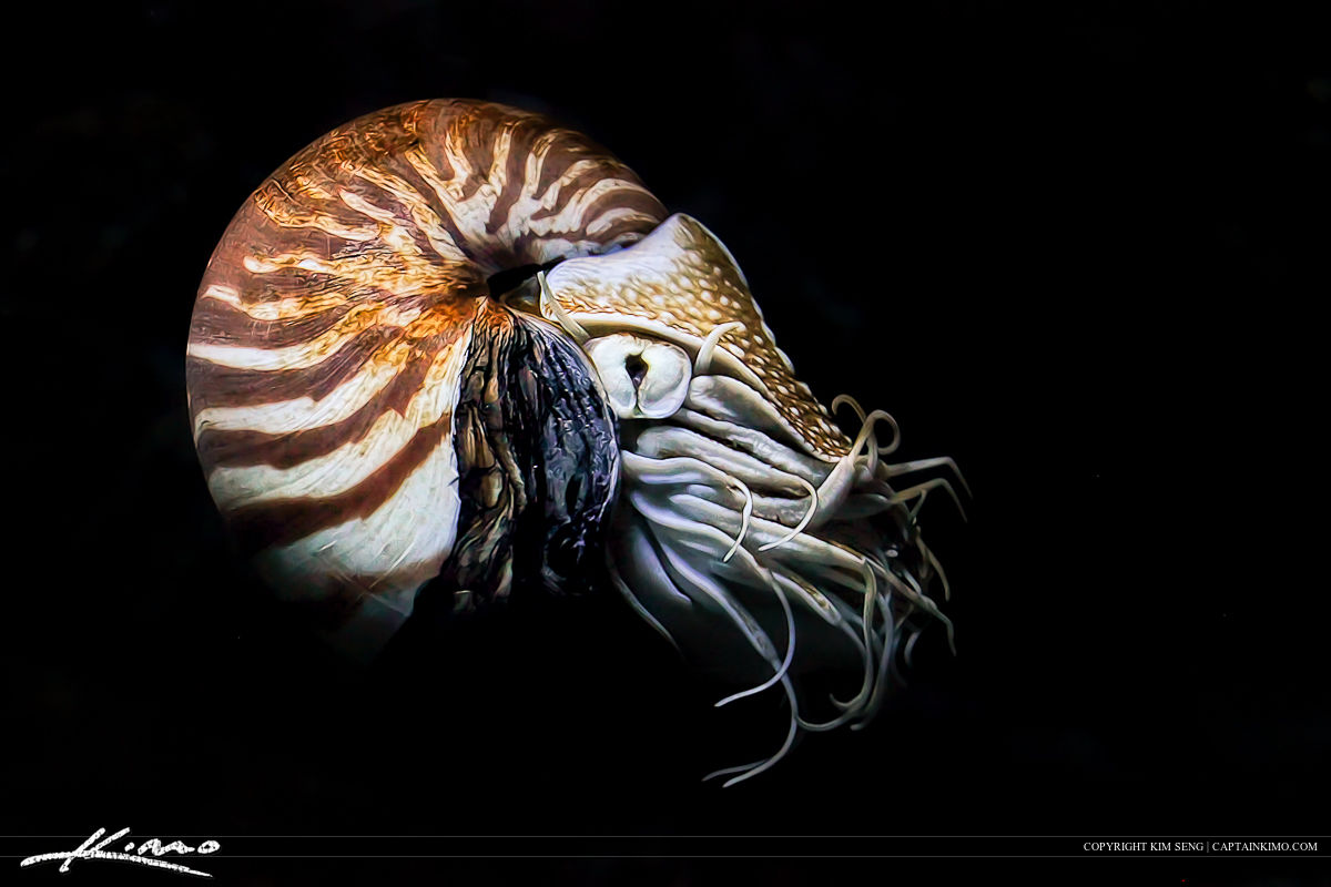 Chambered Nautilus Cephalopod from Siam Paragon Aquarium Bangkok Thailand.