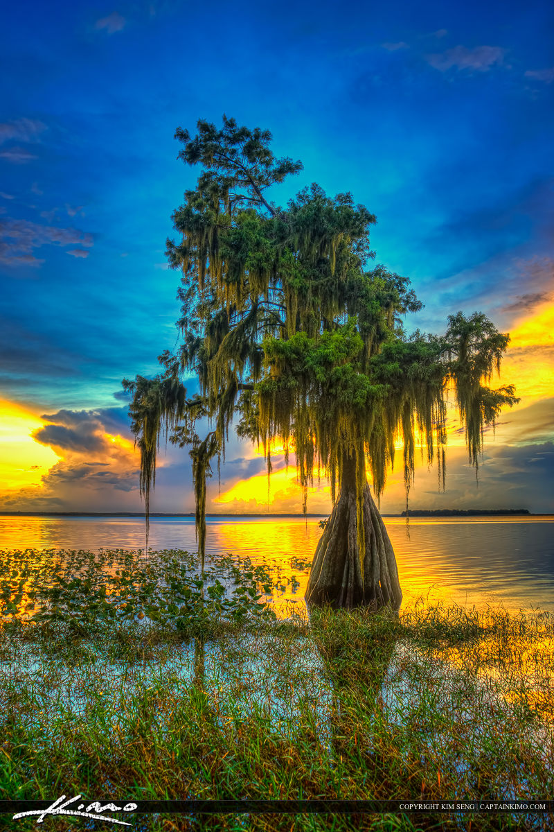 The cypress tree at Lake Istokpoga in Lake Placid, Florida at Hi