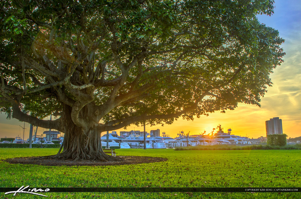 Banyan Tree Sunset at Marina in Palm Beach