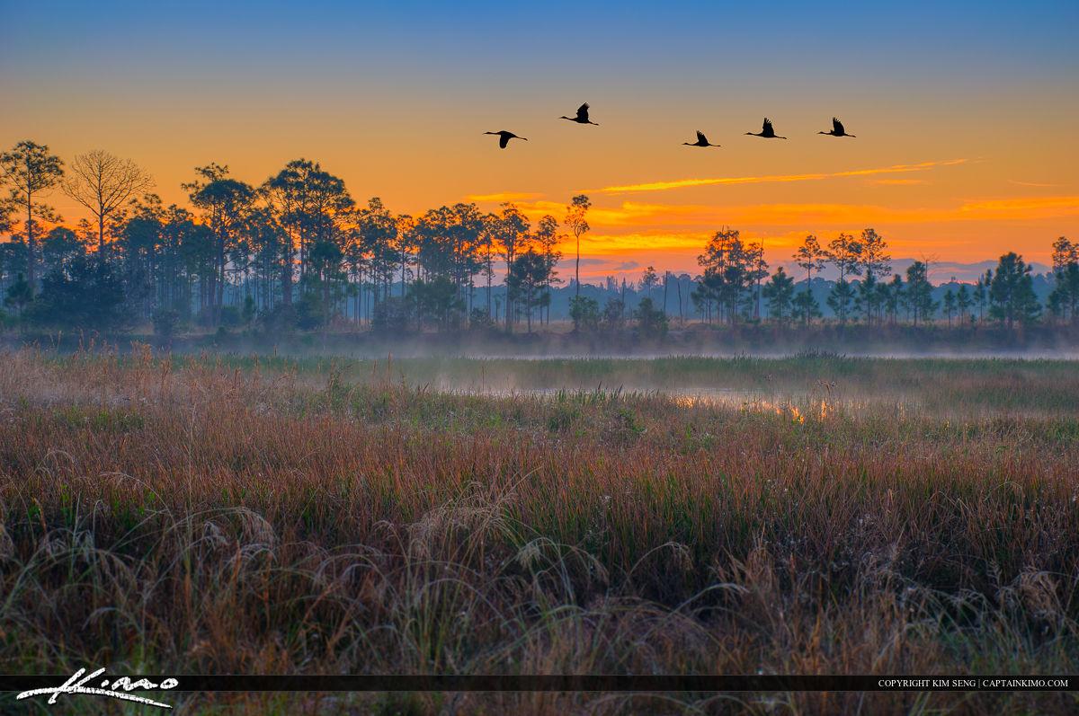 Sandhill Crane Flying Over Pine Glades Wetlands