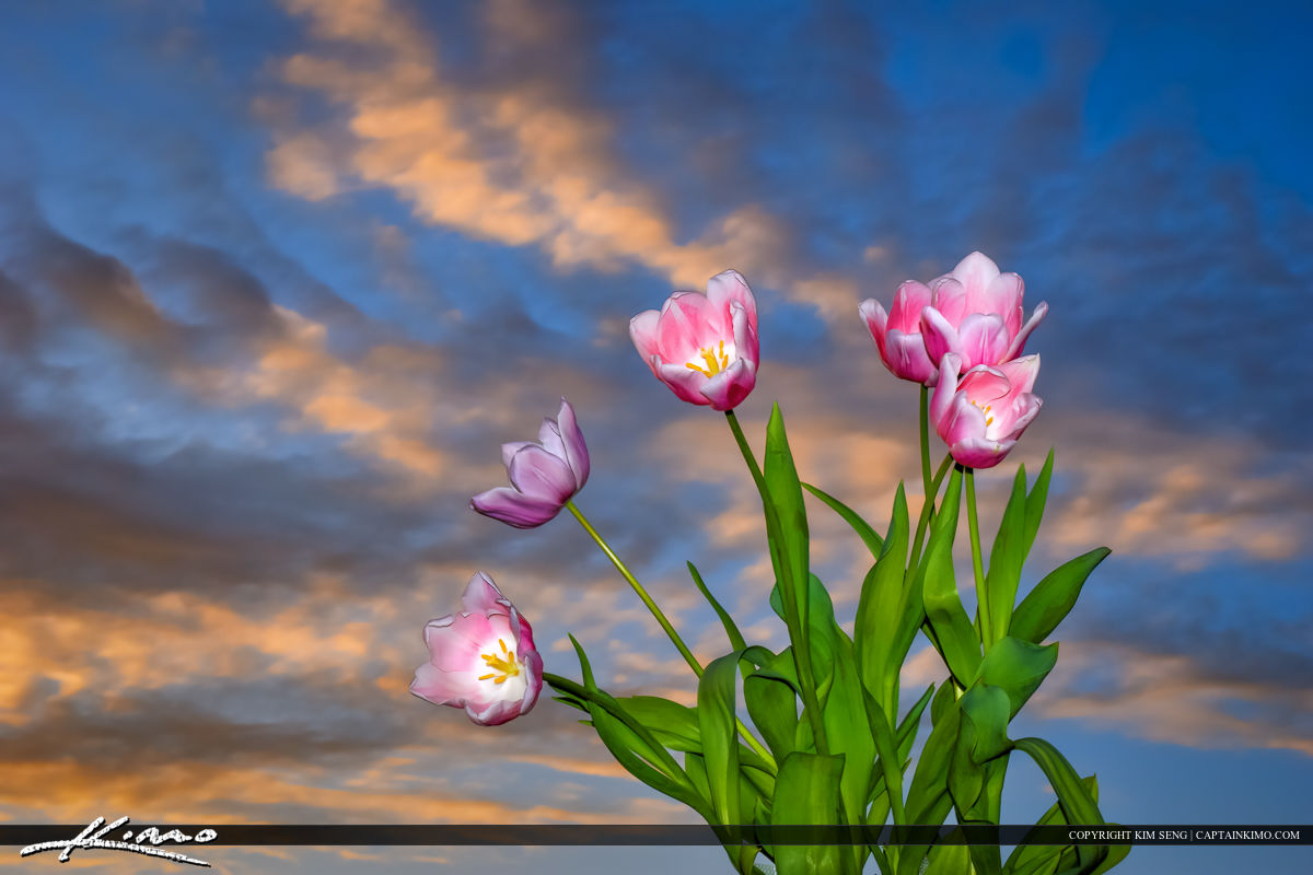 Tulip Flower Sunset Sky and Clouds