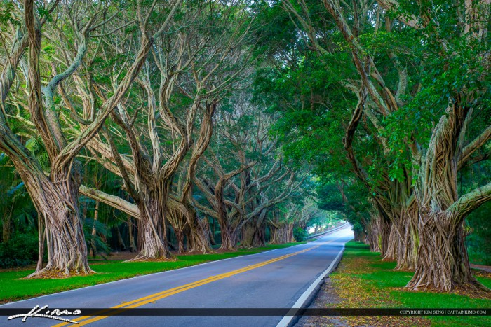 Hobe Sound Florida Bridge Road Ficus Tree