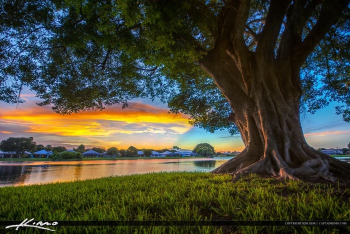 Palm Beach Gardens Sunset Under Ficus Tree