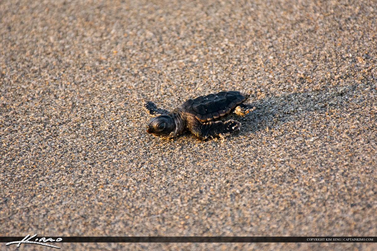 Sea Turtle and Baby on Jupiter Island Beach Florida