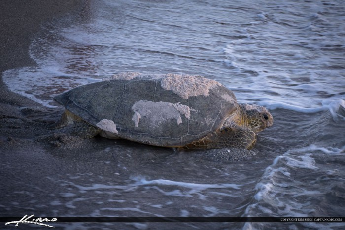 Large Loggerhead Turtle on Beach