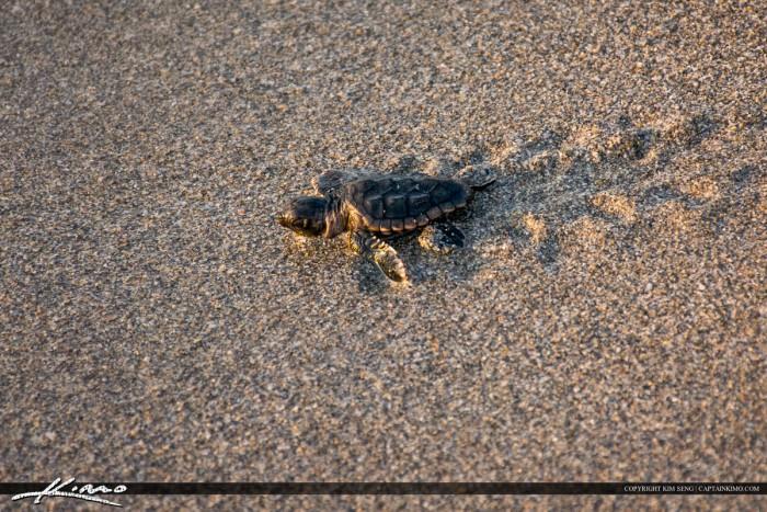 Beach Sea Turtle Heading to Ocean on Beach