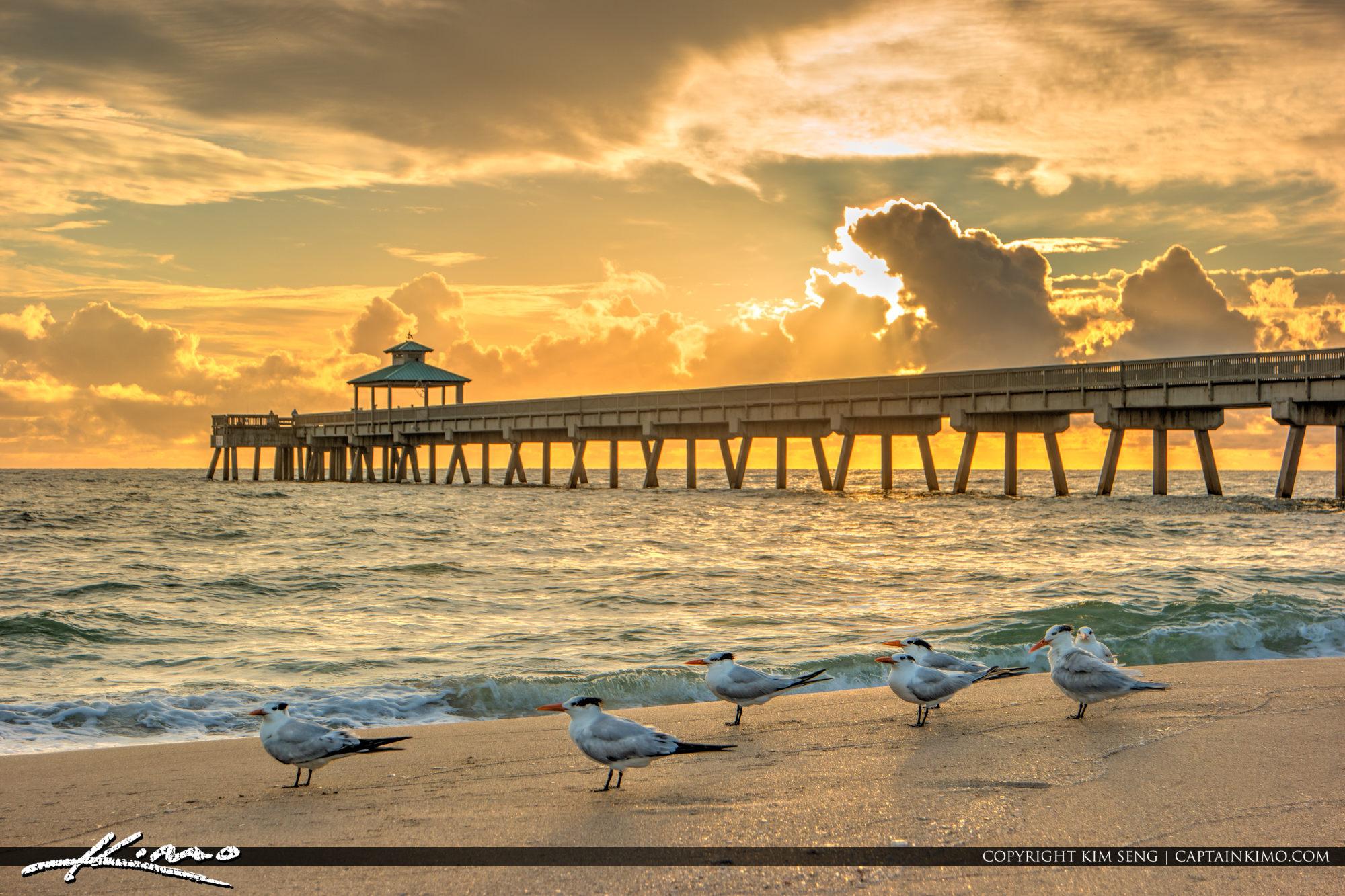 Florida Terns along the Beach at Deerfield Beach Florida