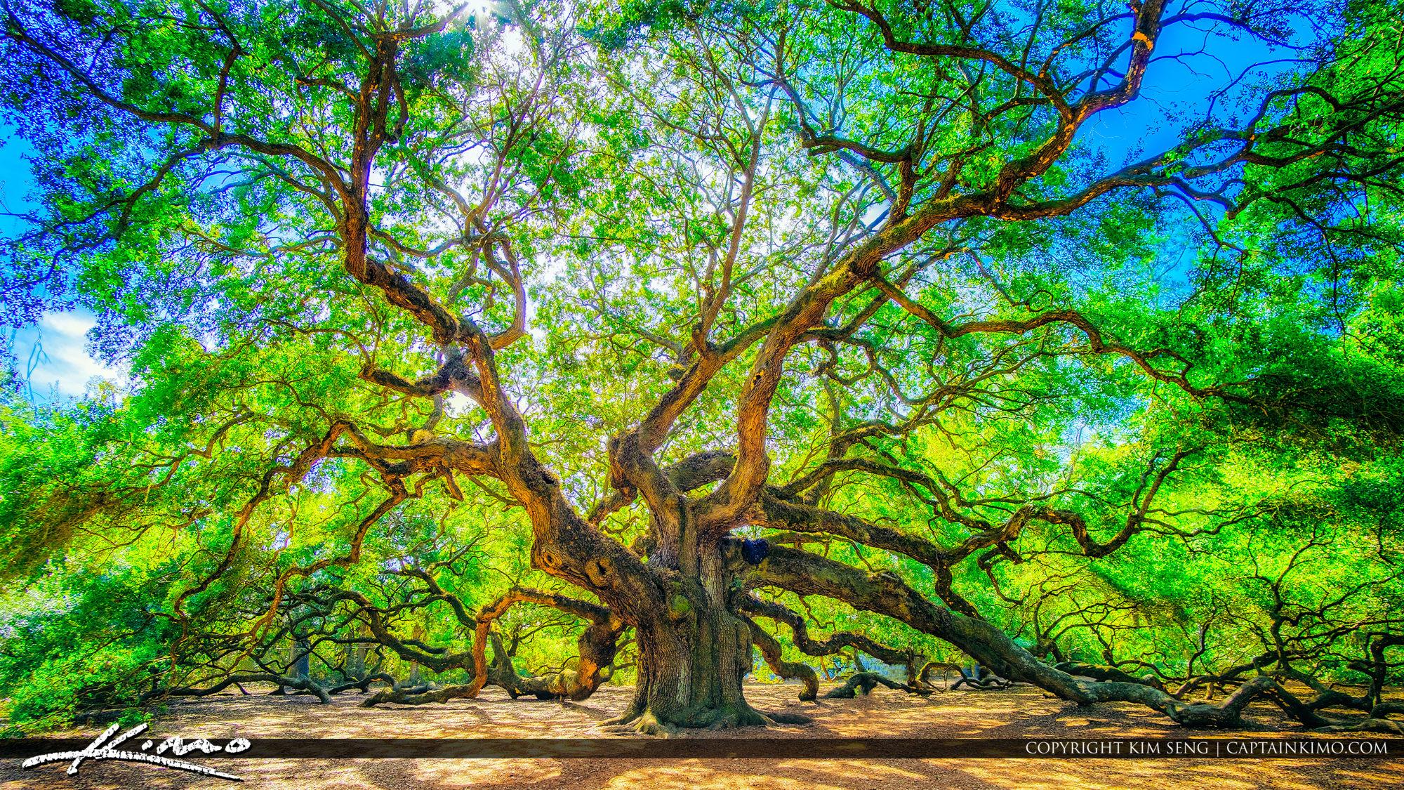Legendary Angel Oak Tree in South Carolina