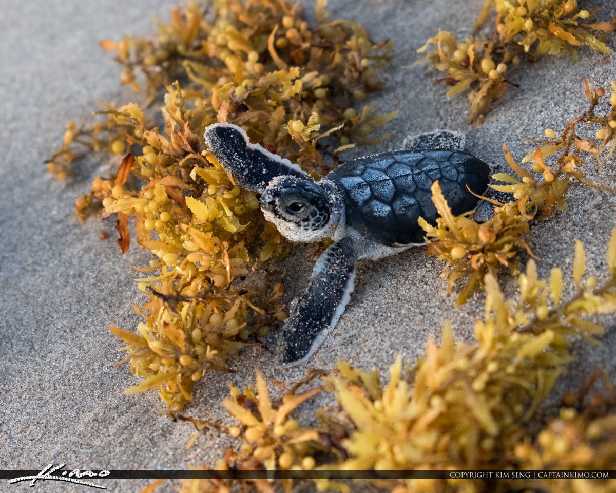 Baby Sea Turtle Rescue from Crow at Juno Pier