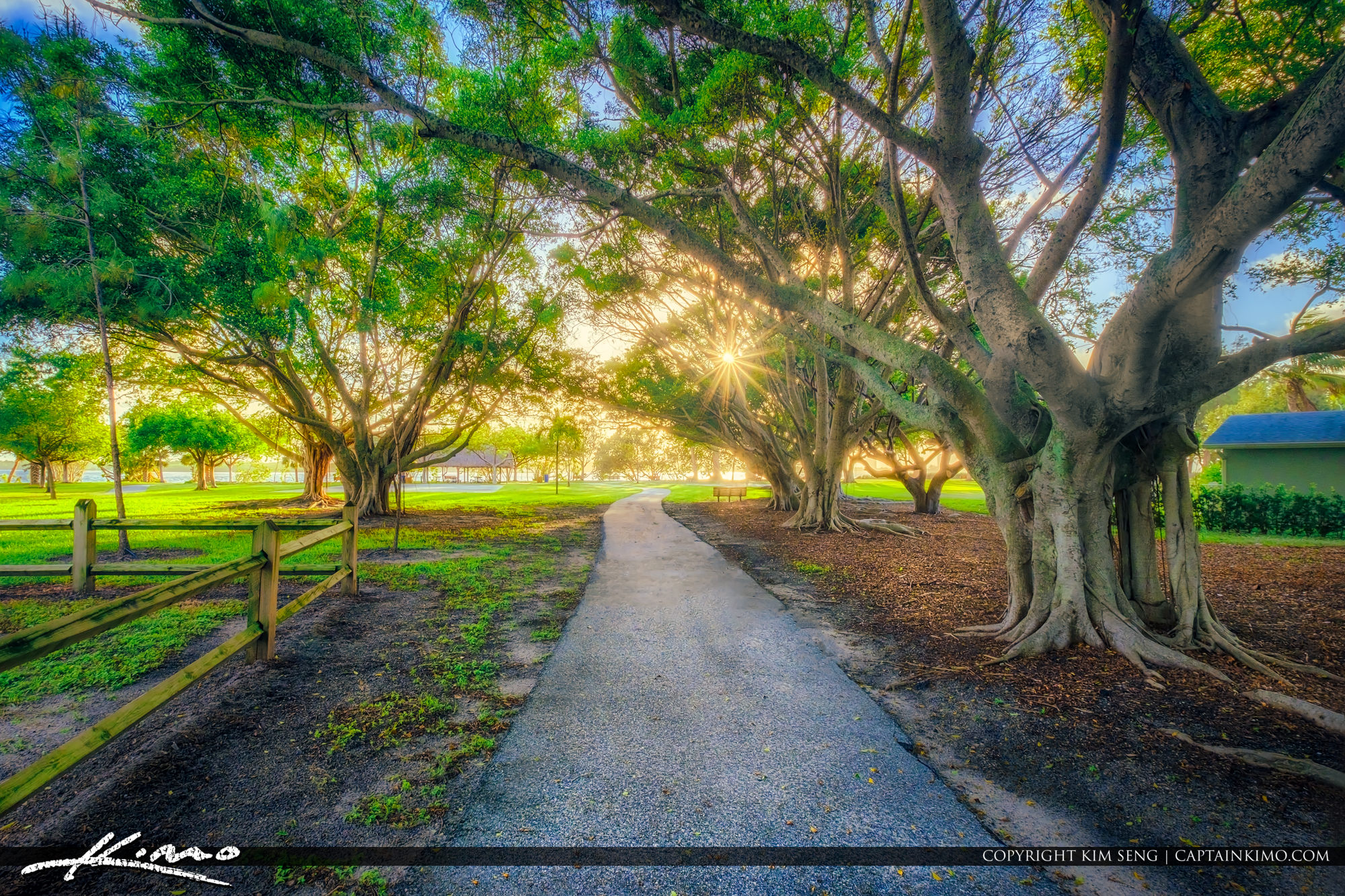 Lakeside Park North Palm Beach Ficus Tree Strangler Vine