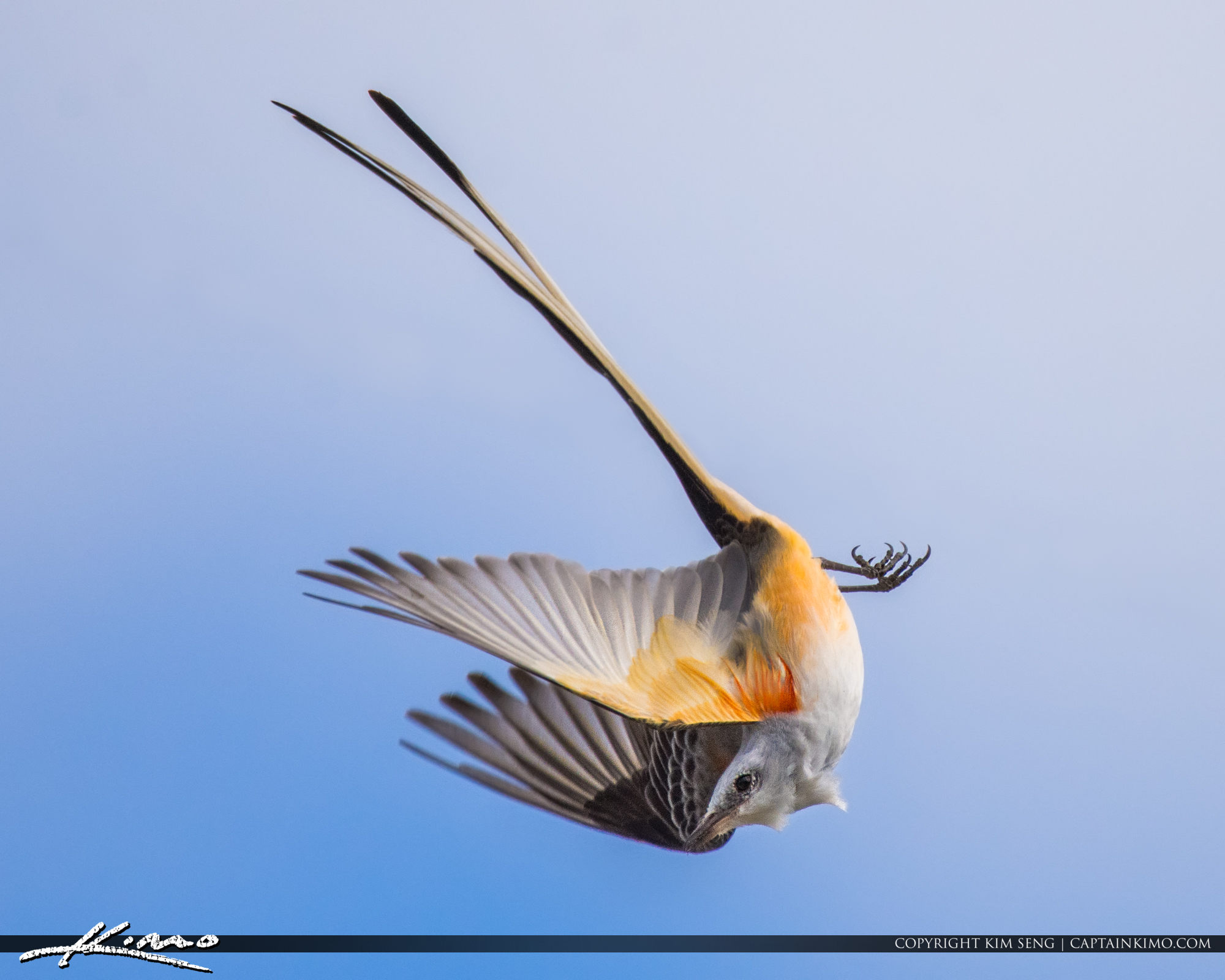 Scissor-tailed Flycatcher Dinner Island Ranch Clewiston Florida