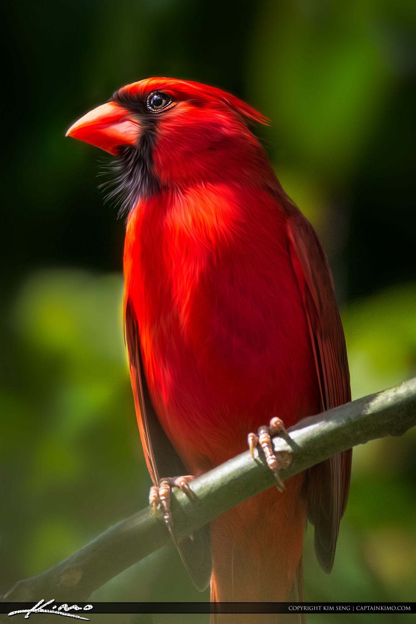 Red Cardinal Perched on Branch with Beautiful Light