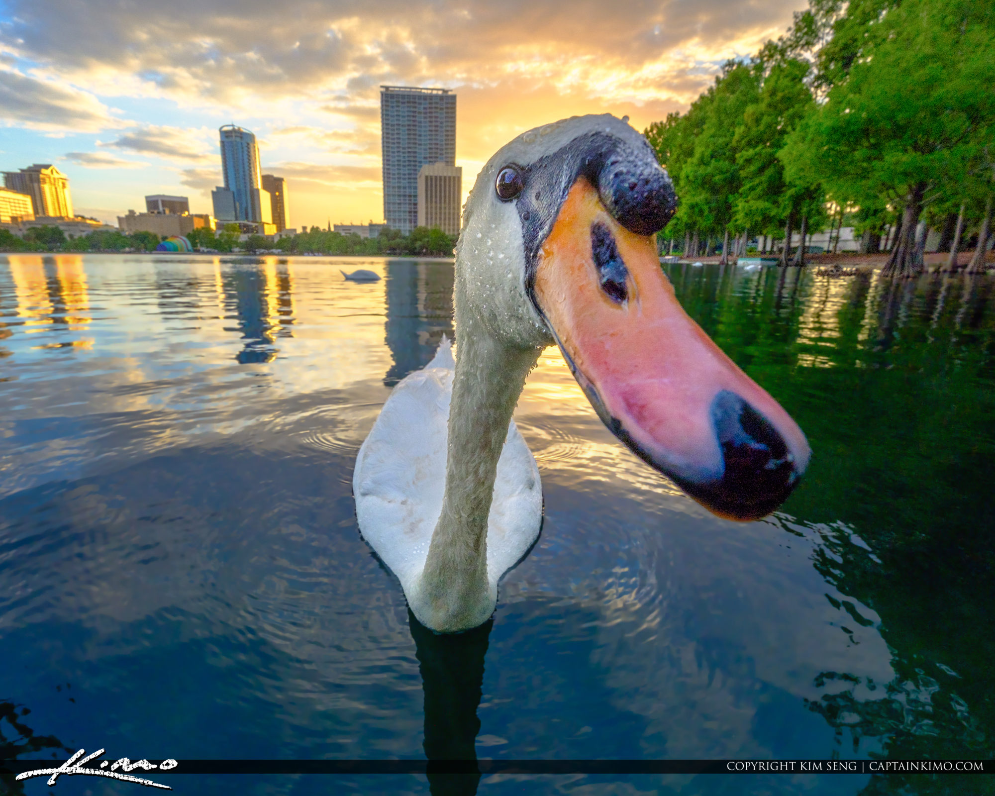 White Swan at Lake Eola Park Sunset
