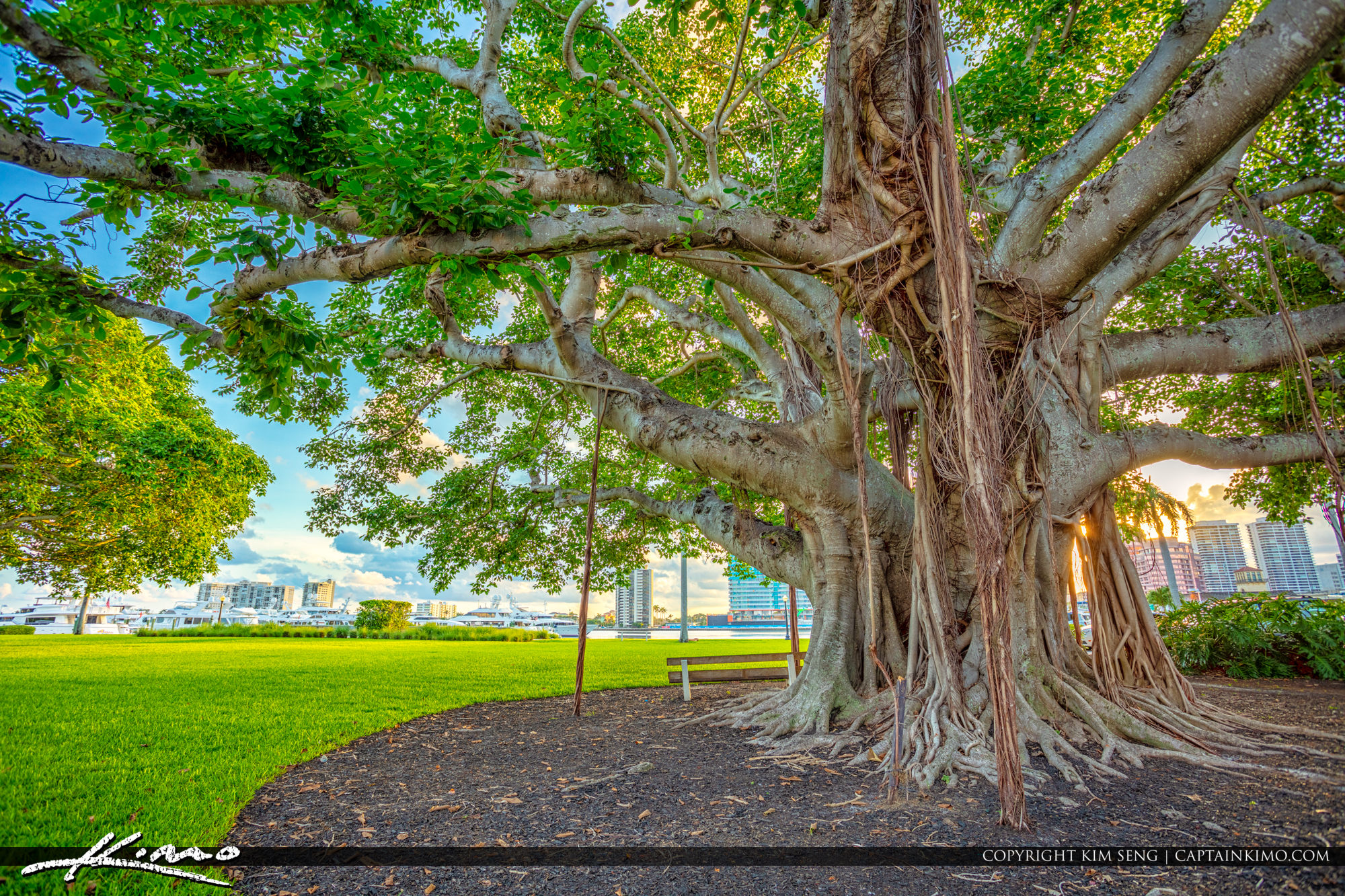 Underneath the Banyan Tree in Palm Beach Island Royal Park Marina