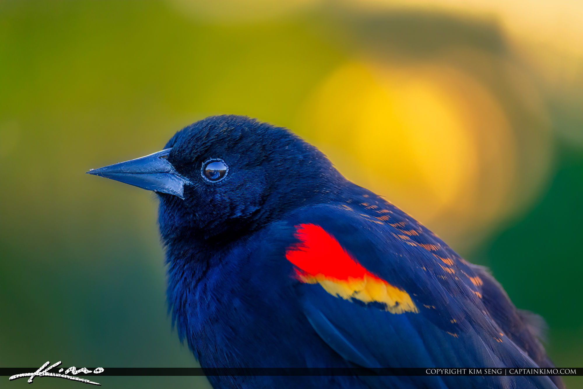 Redwing Black Bird Upclose Wakodahatchee