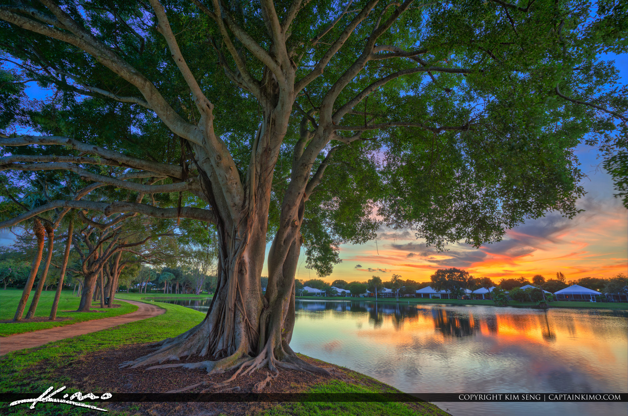 Large Ficus Tree Sunset at Lake Catherine Palm Beach Gardens