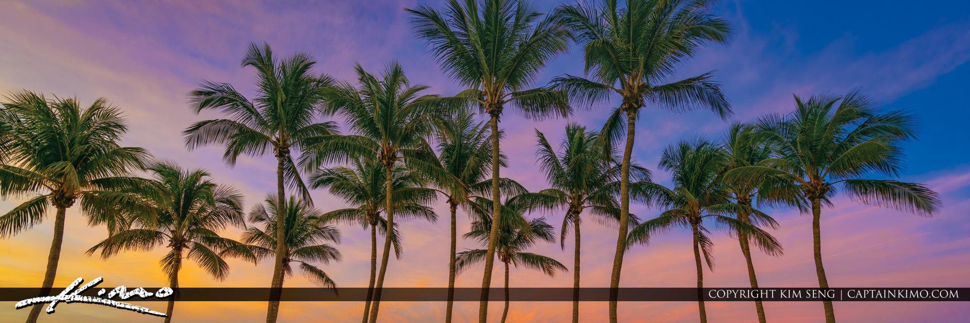 Coconut Tree Panorama Jupiter Florida
