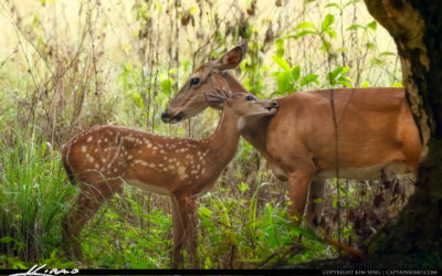 Mother Deer and Fawn Riverbend Park Jupiter Florida