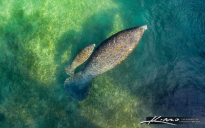 Manatee and Baby Swimming in Jupiter Waterway by Lighthouse
