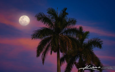 Two Royal Palm Trees Dancing Under the Moon Light