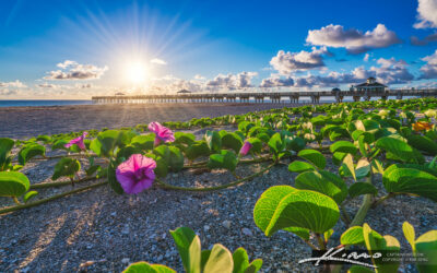 Juno Beach Pier Morning Glory Flower